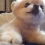 ポメラニアンブログ動画 可愛すぎると世界から愛されたキュンキュン動画7選!